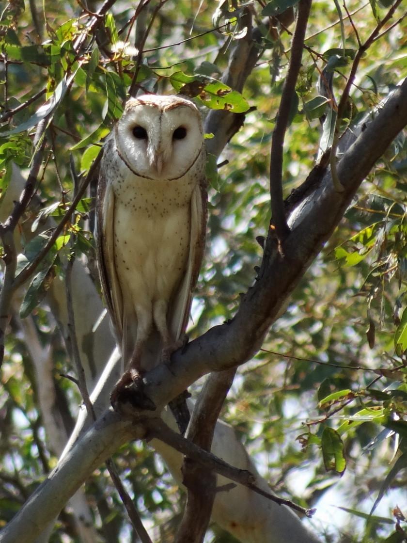 Owl, Nanson