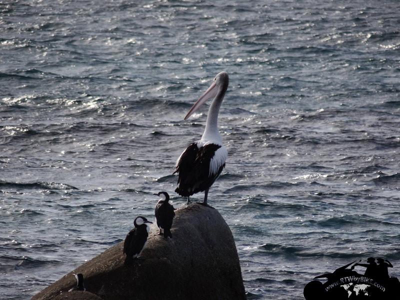 Pelican, East Coast trip, Tasmania