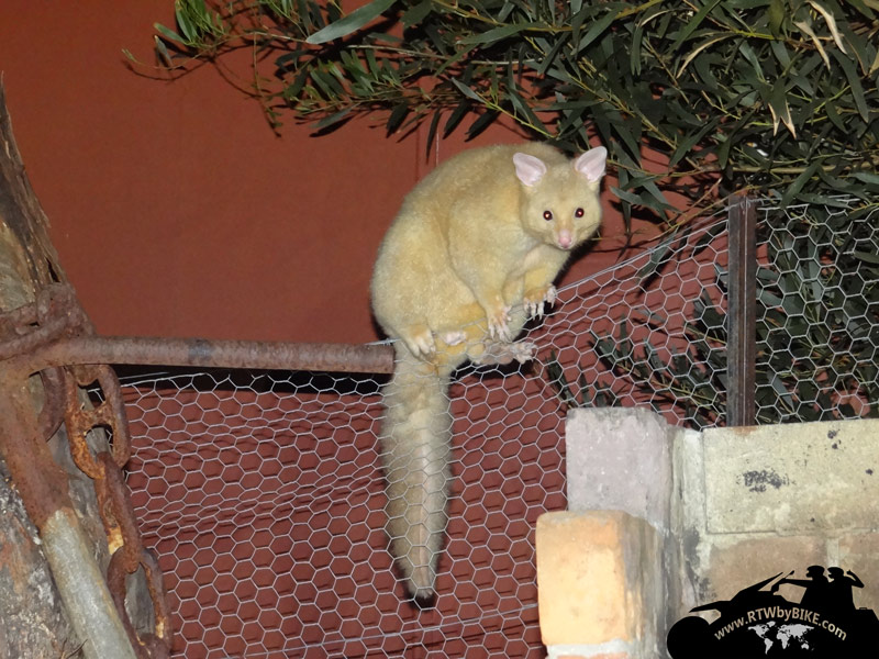 Albino Possums! our flat mate