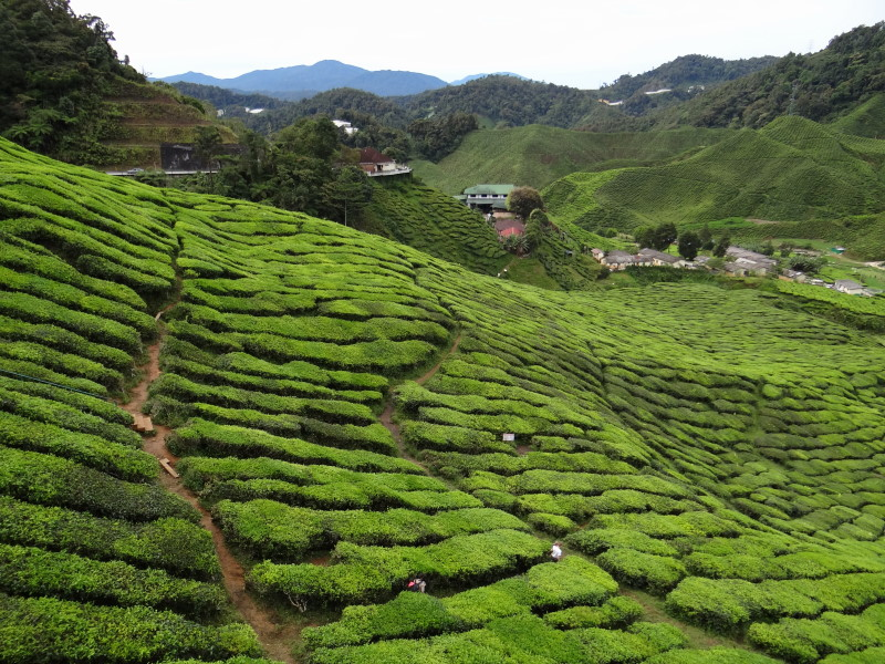 teal plantations, Cameron Highlands