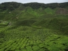 tea plantaions, Cameron Highlands