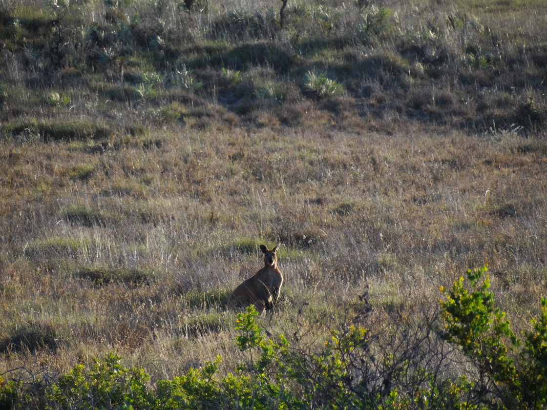 kangaroos, Cape Keraudren