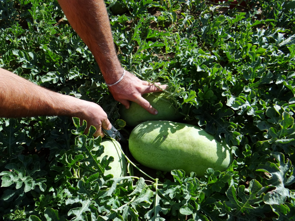 water melon harvesting