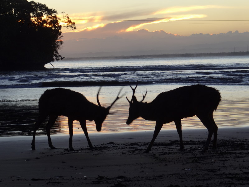 barking deer at the beach