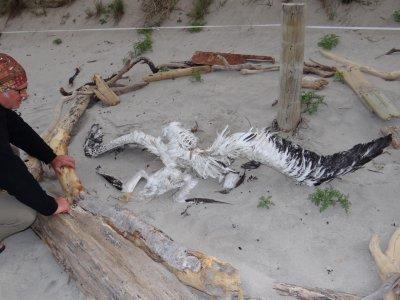 Tawharanui Regional Park, dead albatros