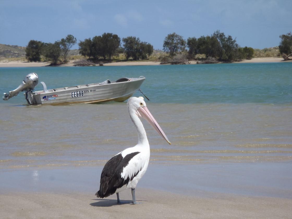 Kalbarri, Pelican