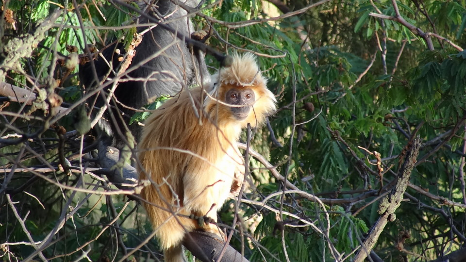 Idjen - monkeys