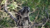 Idjen - monkeys around