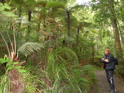 a trip through the kauri forest