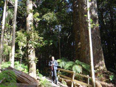 kauri forest trounsen park