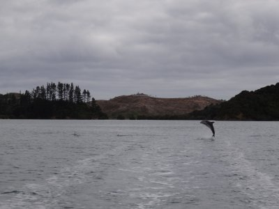 Whangaruru, boat trip with dolphins
