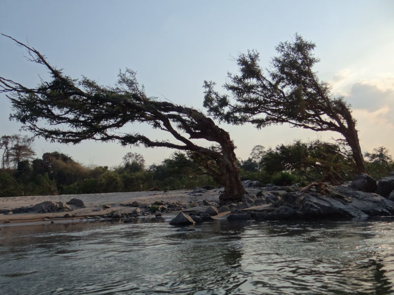 trees are shaped by the floods, Mekong boat trip, Don Khon, Four Thousand Islands