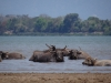 water buffalos, Mekong River bank, Champasak, Don Khong